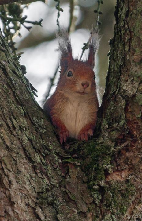 Egern i træet ved Vognsbølparken i Esbjerg