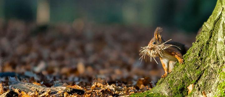 Egern med halm i munden ved dyrehaven i Esbjerg
