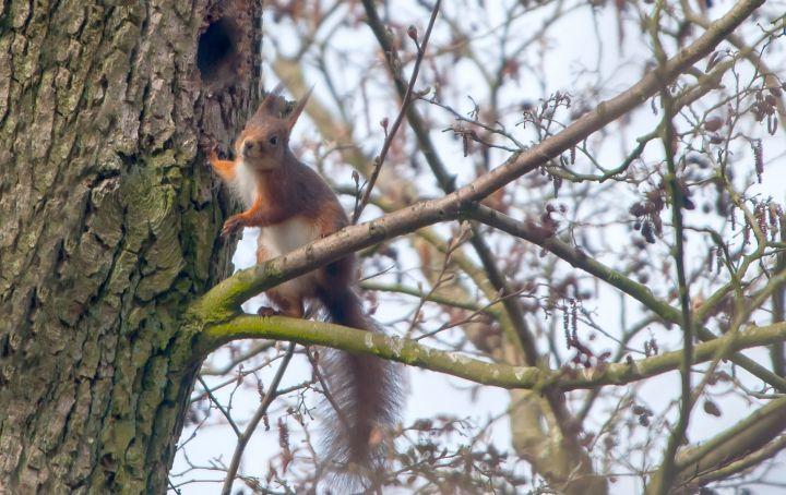 Egern tæt på boet i træet i Vognsbølparken i Esbjerg