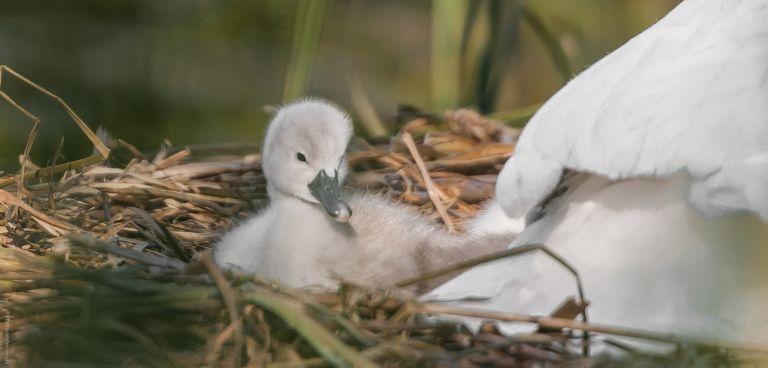 dyrenes liv - svaneunge med mor