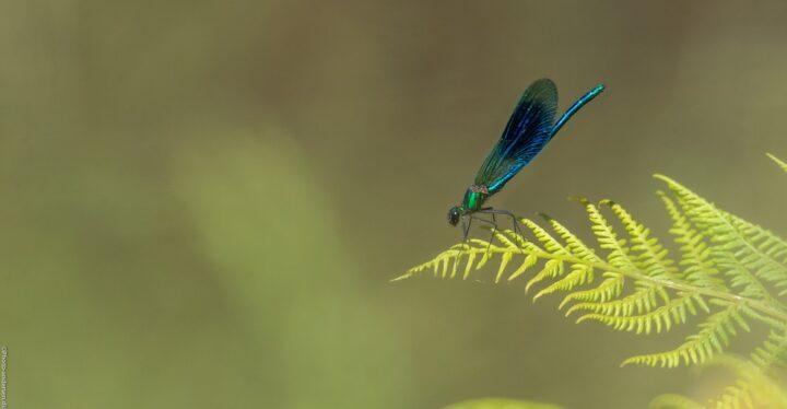Blåbåndet vandnymfe hvor den sad smukt på bladet