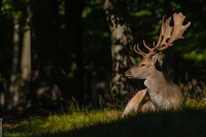 Dådyr tager en pause i solens skær en varm eftermiddag i Oktober, efter at have jagtet hunner det meste af dagen da brunsten er igang