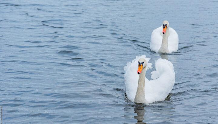 smukke hvide knobsvaner i vandet, hvor de kom svømmende langs vandkanten.