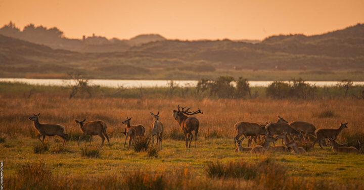 Krondyr står høj på marsken og brøler, hvor brunsten er gået igang.