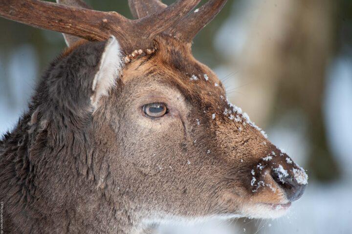 Dådyr i sneen i dyrehaven i Esb