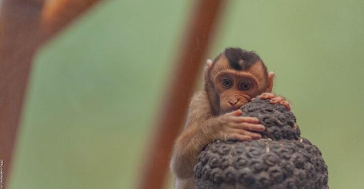 En makak abe ved Odense zoo, hvor han bed i en buddah skulptur