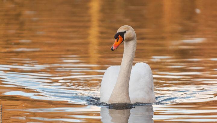 knobsvane kommer stille svømmende afsted i solens orange skær i søens vand