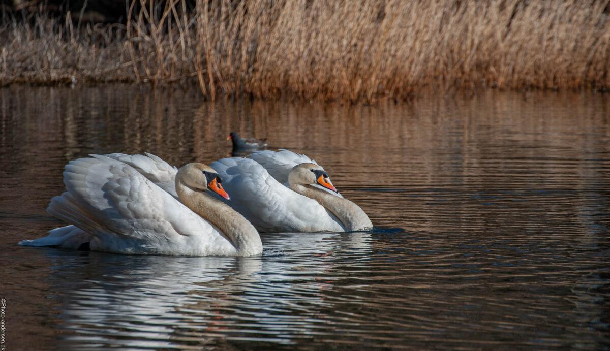 svaner i søen, hvor de kommer svømmende i takt med hinanden og hvor lyset er blødt og lækkert