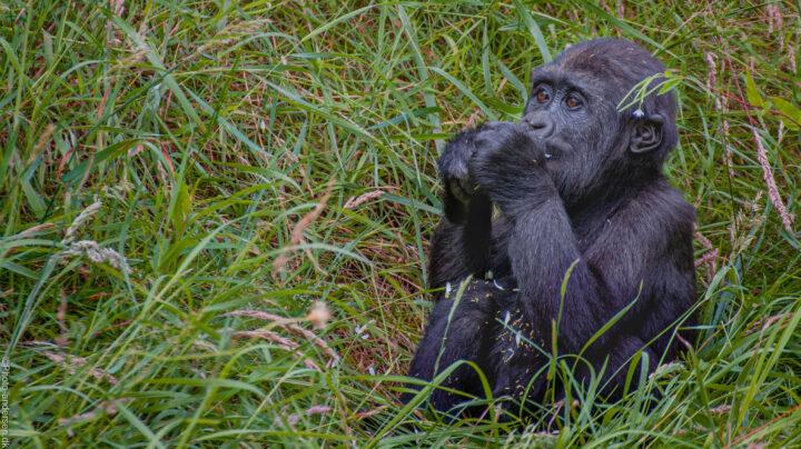 Gorilla unge i græsset